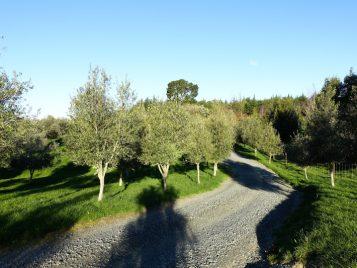 Upper Moutere Olive Grove, Nelson Tasman Region, NZ